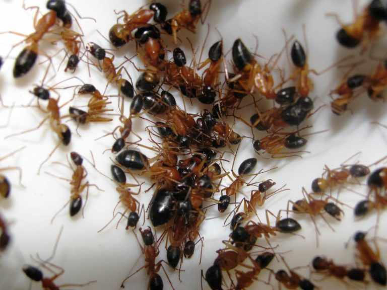 How to determine if your house is infested with ants
